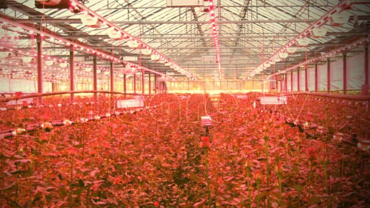 strawberry-with-hydroponics-and-led-lighting-indoors