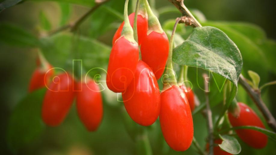Hydroponics Goji Berries GHE